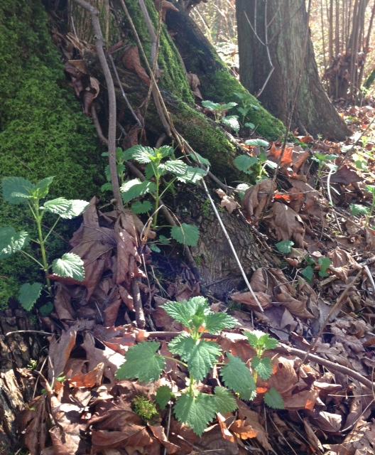 nettle:forest